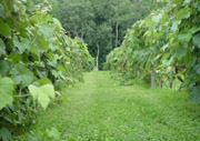 Vineyard at Villa Maria