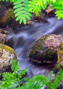 Mountain Stream with Fern